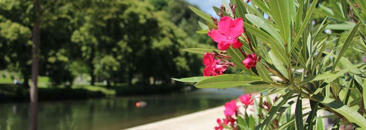 Oleander am Longwyplatz