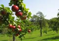 Äpfel auf der Hochzeitsbaumwiese