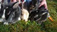 Kaninchen Neuweiler