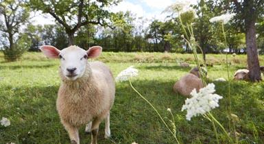 Schaf im Grünen
