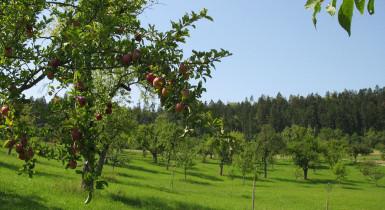 Auf dem Bild sieht man eine grüne Wiese mit grünen Obstbäumen und einem schönen blauem Himmel
