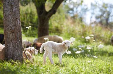 Lamm auf grüner Wiese